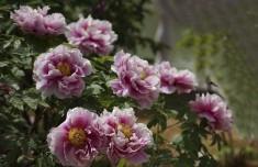 盛开的牡丹花